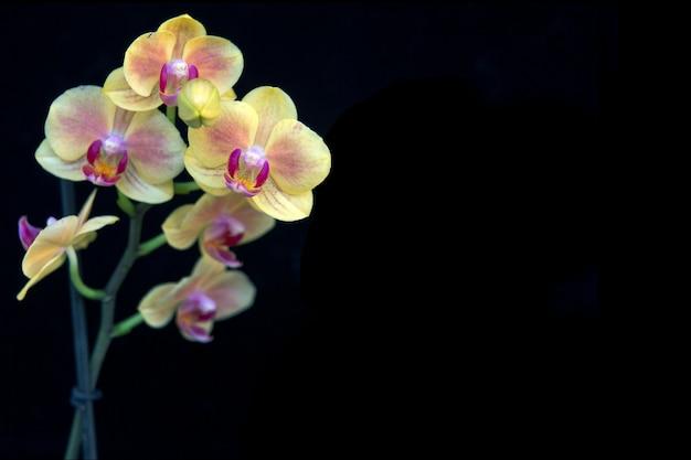 Цветущая ветка желтой орхидеи, изолированная на черном. цветоводство, домашние цветы.