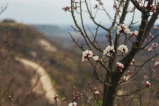 Blooming branch of a wild apricot on the background of hills and road