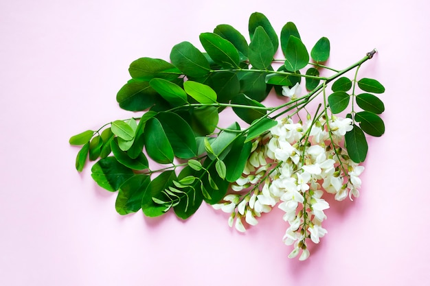 Blooming branches of white acacia with green leaves on pink b