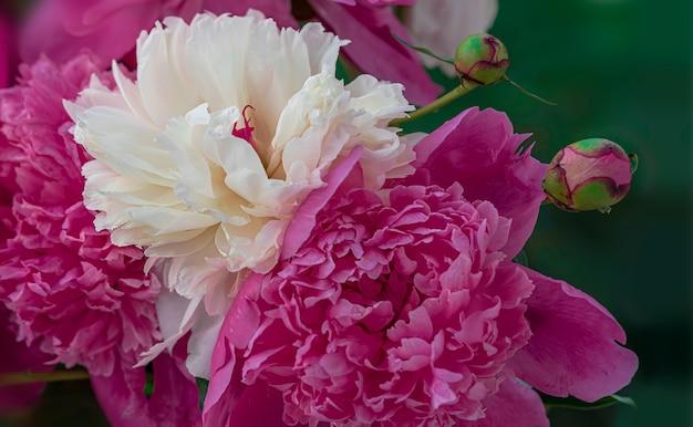 牡丹の花とつぼみの咲く枝。花のポスターや壁紙をリラックスしてください。ぼやけた背景