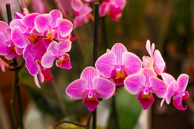 Blooming bright pink orchid, houseplant