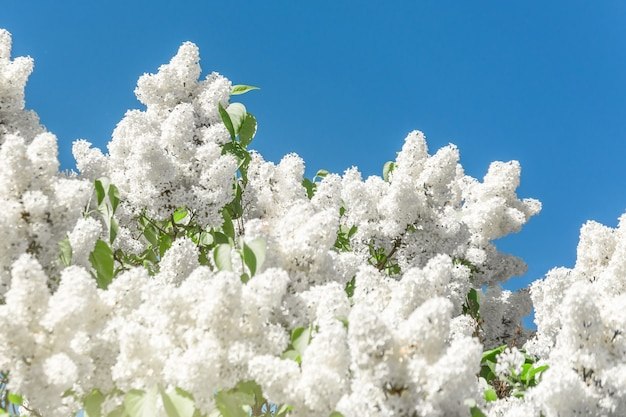 Blooming brush of lilac bush - white color, against the blue sky.