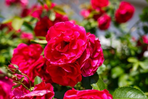 晴れた日に咲くピンクのバラの茂み
