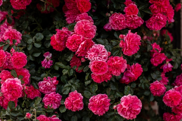 Blooming bush of pink roses. background for screensaver of flowers