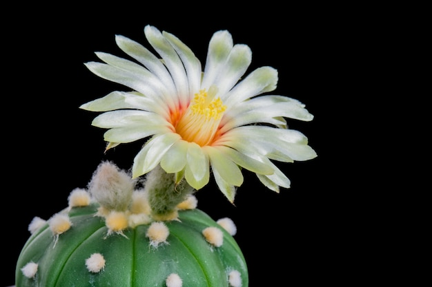 Blooming cactus flower astrophytum asterias white color