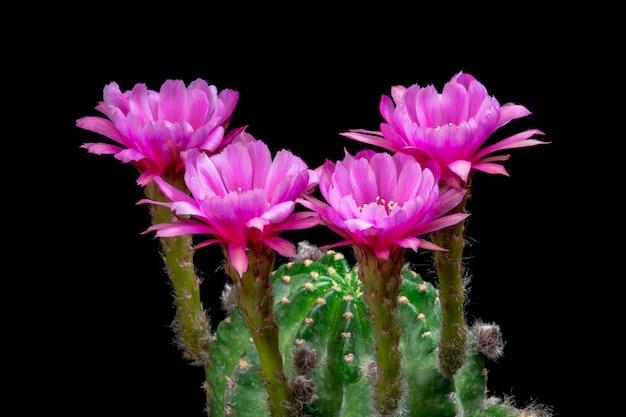 Blooming cactus flowers echinopsis hybrid pink color