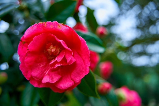 Blooming camellia flowers in the city park