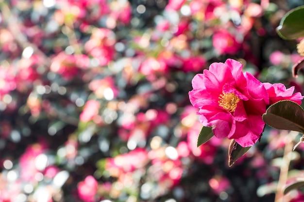 Blooming camellia flowers of jeju island, korea
