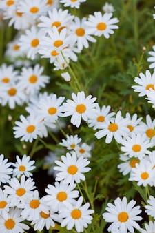 Цветущие цветы ромашки на клумбе. вертикальный снимок с выборочной фокусировкой