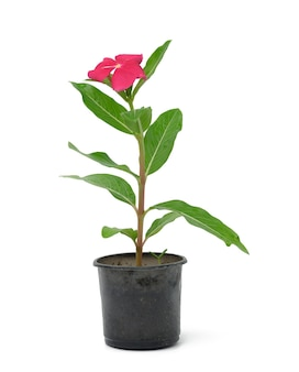 Blooming catharanthus pink in black plastic pot isolated on white background, plant for transplanting in the garden