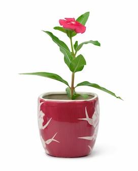 Цветущий катарантус розовый в горшке на белом фоне, растение для пересадки в саду