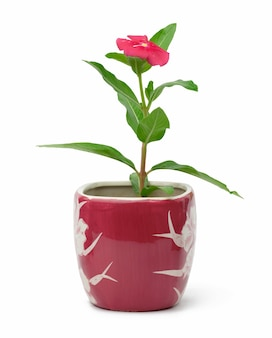 Blooming catharanthus pink in pot on white background, plant for transplanting in the garden