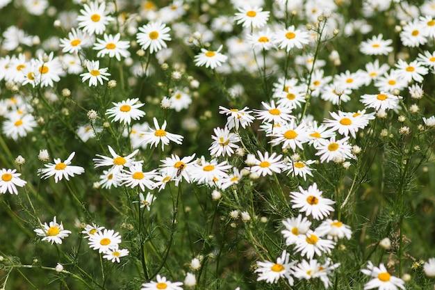 Цветущее поле ромашки, цветки ромашки на лугу летом, селективный фокус.