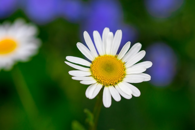 Blooming chamomile field, chamomile flowers.