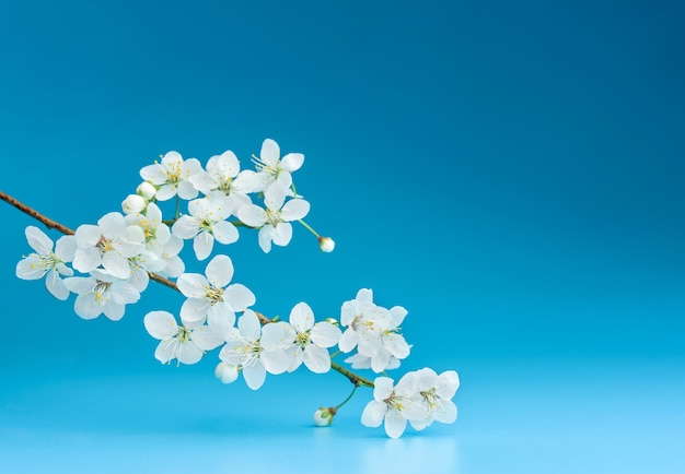 Blooming cherry branch on a blue background with copy space.