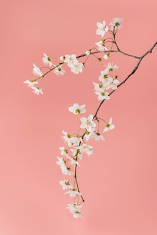 Blooming cherry branch close-up on a pink background.