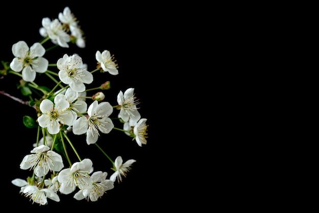 Цветущая ветка вишни. весенние белые цветы. вино дерево в цвету.