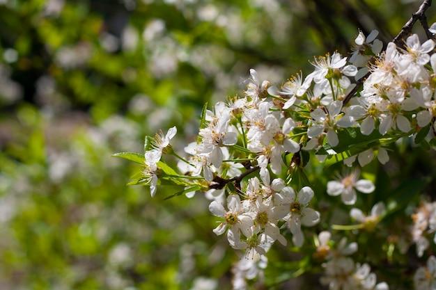 複数の花が咲く桜の枝