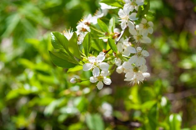 いくつかの花が咲く桜の枝