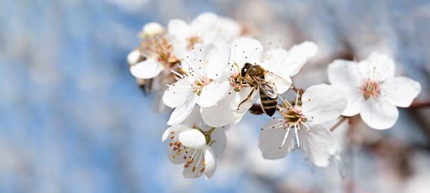 흰 꽃과 하늘 배경에 꿀벌 피는 벚꽃 지점