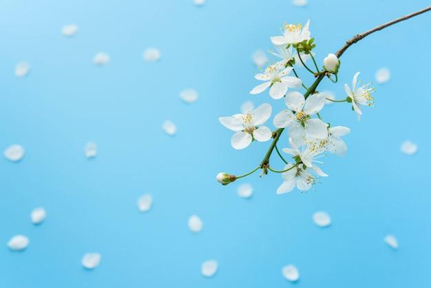 꽃잎과 파란색 배경에 벚꽃 개화 근접. 봄 기호.