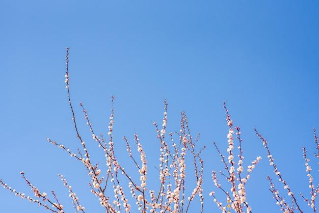 暖かい春の4月の日に咲く桜