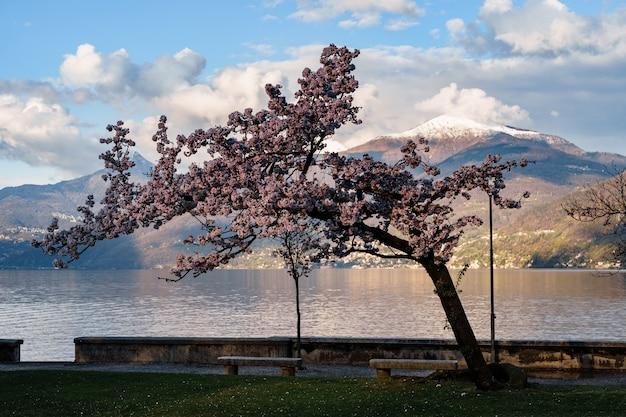 Цветущая вишня на фоне заснеженной горы.