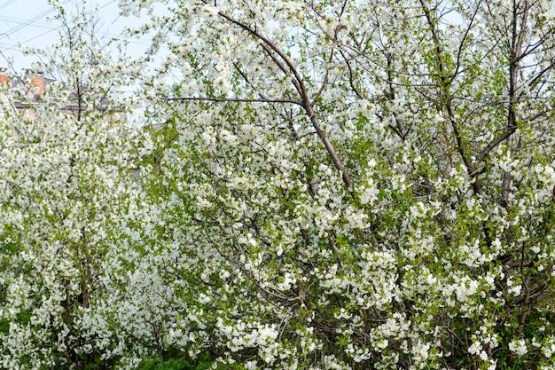 咲く桜。バネ。