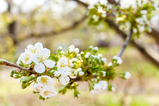 Blooming cherry tree. cherry begins to blossom