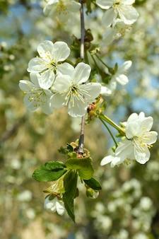 Цветущие ветки вишневого дерева весной