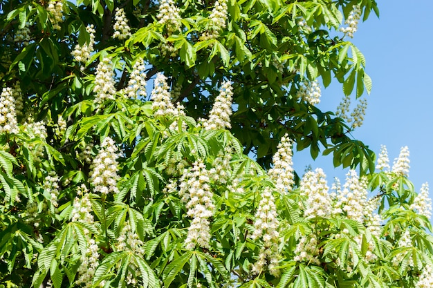 Blooming chestnut against the blue sky on sunny day