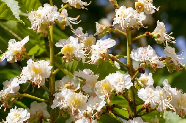 Цветущий каштан в весенний сезон, фото крупным планом нескольких соцветий