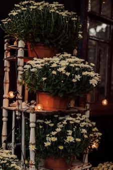村の中庭に咲く菊