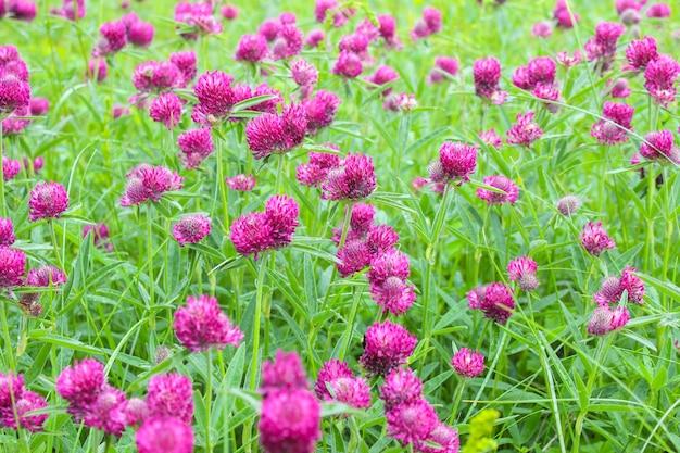 背景として牧草地に咲くクローバー