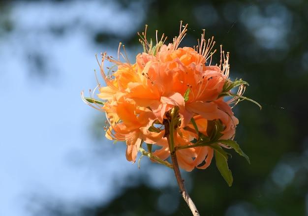 Цветущие кластеры оранжевых цветков азалии.