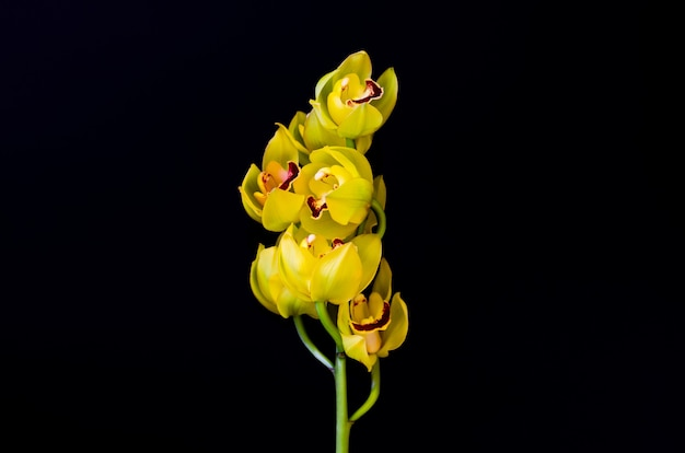 검은 바탕에 노란색 색 cymbidium 난초의 개화 클러스터.