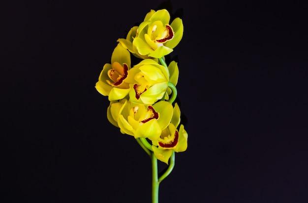 Цветущая гроздь орхидей цимбидиум желтого цвета на черном.