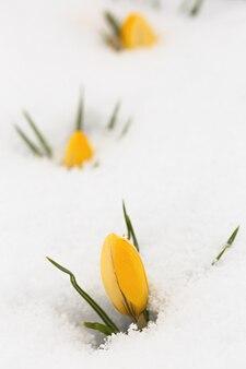 春の庭に咲くクロッカス