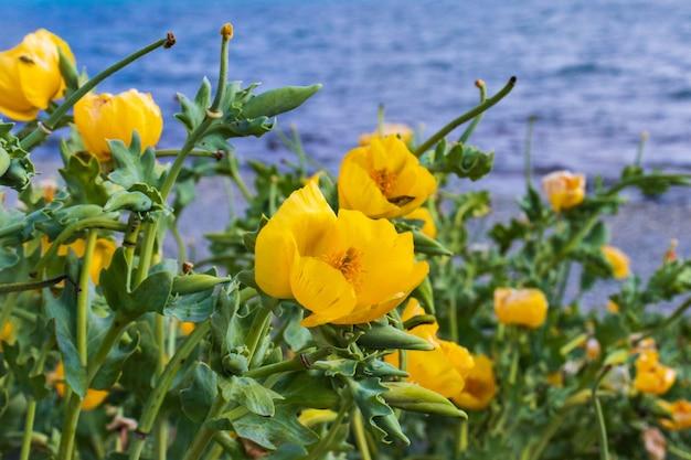 Цветущая тропинка нарциссов на скале у балтийского моря в синий весенний день. желтые цветы нарцисса на фоне моря. ощущение весны на берегу моря. приморские пасхальные каникулы.