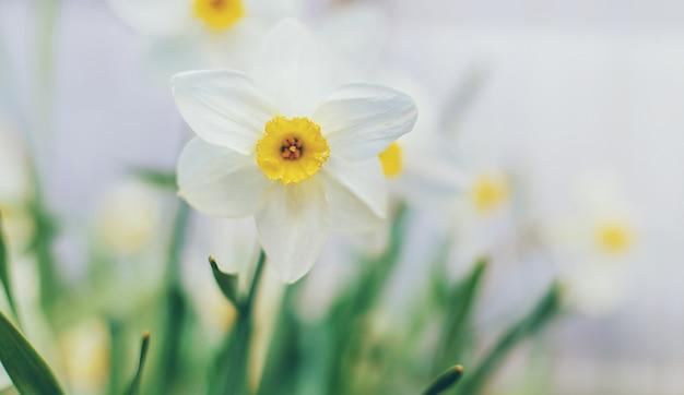 庭に咲く水仙。セレクティブフォーカス