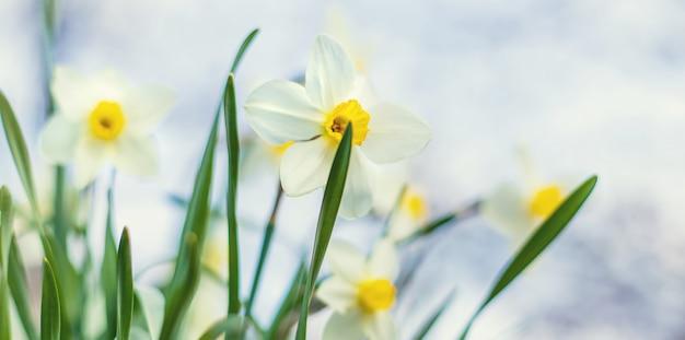 Цветущие нарциссы в саду. выборочный фокус Premium Фотографии