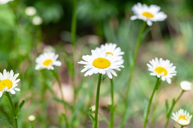 咲くヒナギク、美しい淡い花