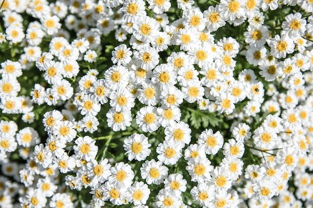 Цветущие ромашки поле цветы ромашки на лугу летом