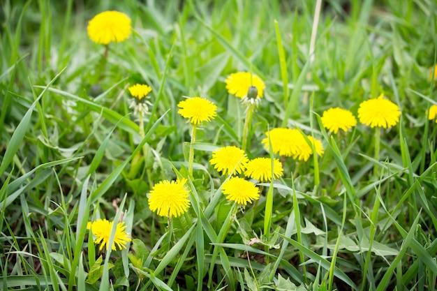 明るい緑の草の春の背景に咲くタンポポ。緑の草の背景のテクスチャ。セレクティブフォーカス。