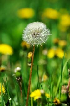 이른 봄에 푸른 잔디의 배경에 피는 민들레