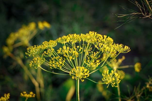 Цветущий укроп. зеленый фон с желтыми цветами укропа