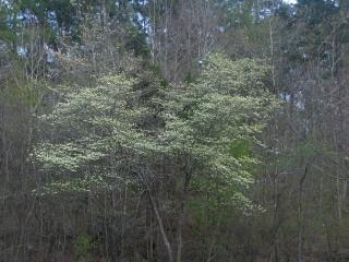 Blooming dogwood