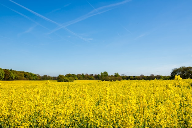 Blooming field of yellow rapeseed