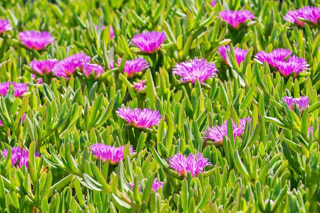 Blooming flower of carpobrotus chilensis on sand dunes typical succulent plant