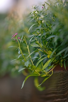 夏の庭の植木鉢に咲く花ニワナズナ